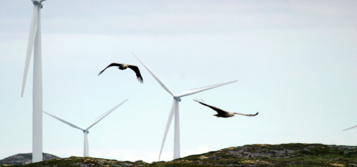Two white-tailed sea eagles fly by wind turbines on the island of Smola in Norway. (Photo: Todd Katzner)